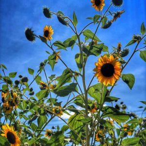 vibrant sunflowers